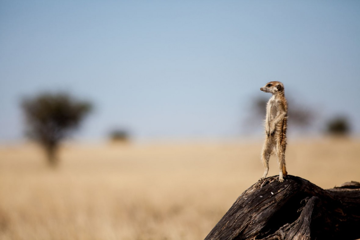 Close Encounters of the Meerkat Kind