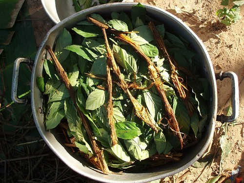 Amazonian traditions revisited: Ayahuasca encounters